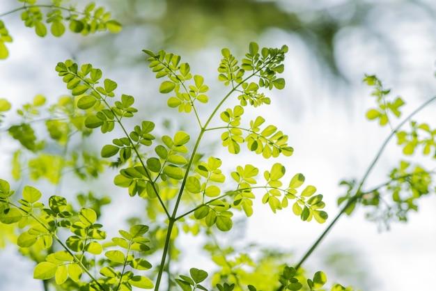 自然の表面にぼやけたモリンガ緑の葉。