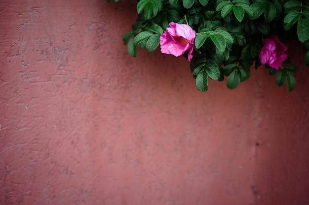 Bluredピンクのフェンスの背景に焦点を当てた花とローズヒップブッシュ。スペースをコピーします。