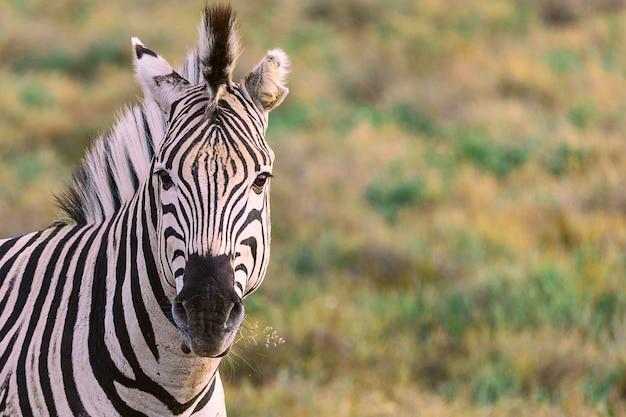 南アフリカ国立公園のblured背景を持つシマウマの肖像画を噛む