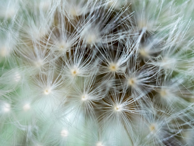 Blurred background extreme close up to a dandelion head