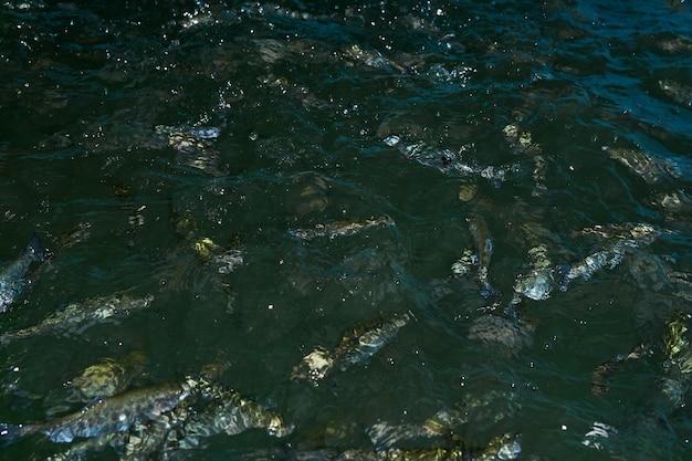 흐릿한 배경 - 먹이를 기다리는 양어장에서 물에 튀는 송어