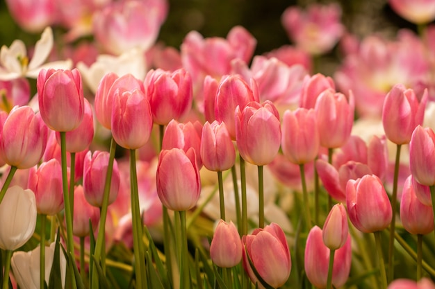 Blurred beautiful pink tulip flower in nature background.