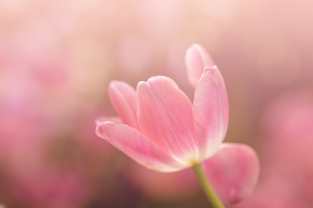 Blurred beautiful pink tulip flower in nature