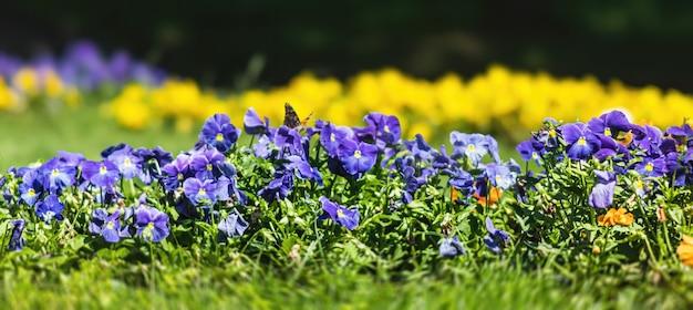 庭のぼやけた開花パンジーの花。自然な春の背景。セレクティブフォーカス、浅い被写界深度