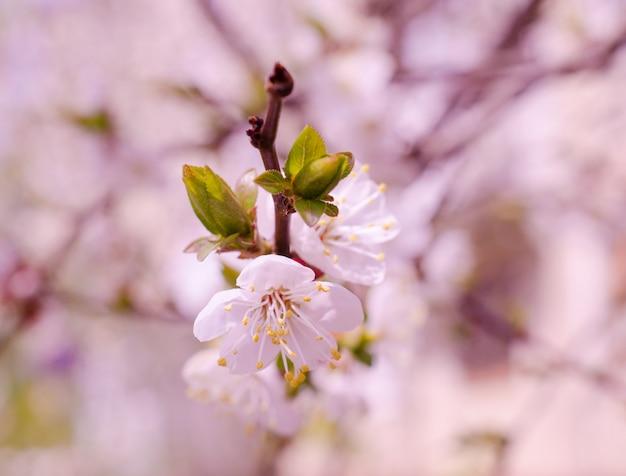 Blurred cherry-tree flowers in pink tones