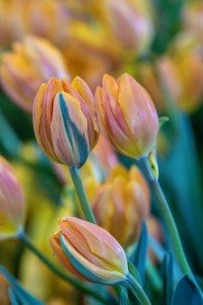 Blurred close up beautiful orange tulip flower in nature