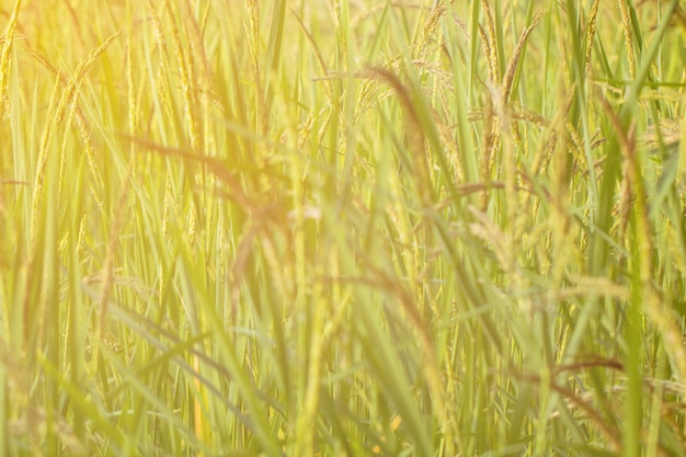 Blurred closeup of rice paddy in the rice terraces of thailand