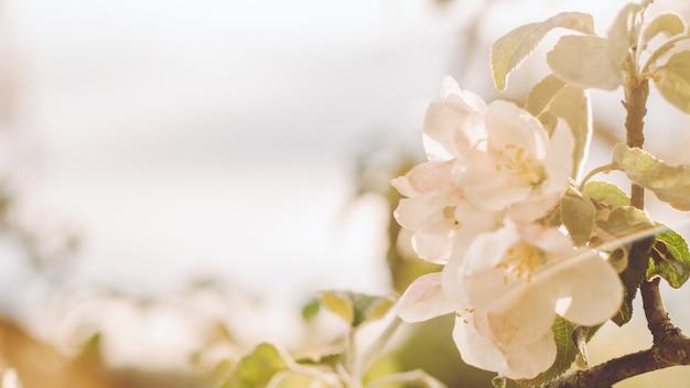 보케와 함께 꽃이 만발한 사과 나무 꽃의 흐릿한 창조적 배경. 봄에 과일 나무의 흰색 defocused 꽃입니다. 배너