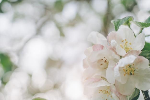 보케와 함께 꽃이 만발한 사과나무 꽃의 흐릿한 창조적 배경. 봄에 과일 나무의 흰색 defocused 꽃