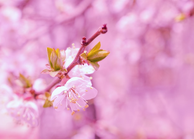 Blurred fairy-like cherry-tree flowers in bright pink tones