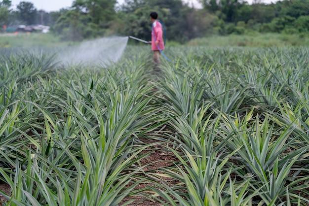 ぼやけた農夫はパイナップル農場でパイナップル植物花粉肥料ミックスをスプレーします