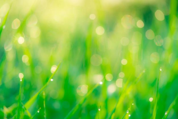 早朝の朝露でぼやけた新鮮な緑の芝生フィールド。庭の草の葉の先端の水滴。