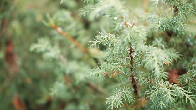 초점 침엽수 나무 배경에서 흐린 이미지