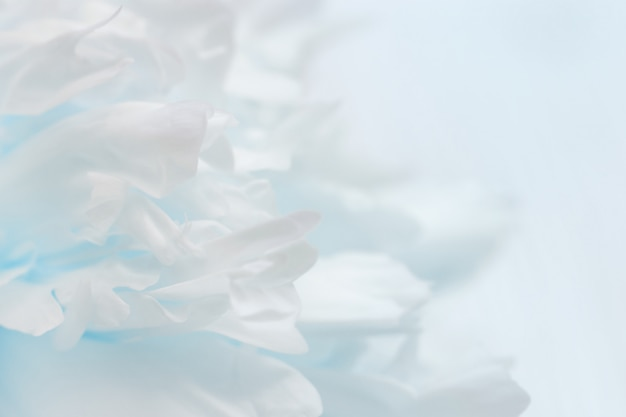 Blurred peony petals, abstract blue background, pastel colors