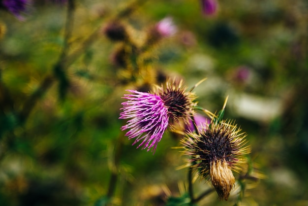 Blurred pink blessed milk thistle flower, close up, shallow dof.