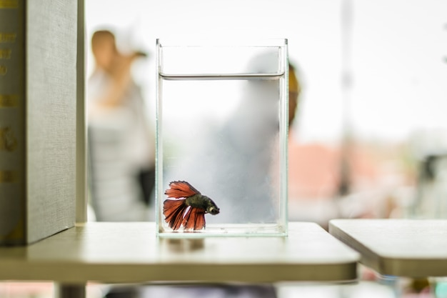 Blurred of red siamese fighting fish in the glass tank with the background of scientist.