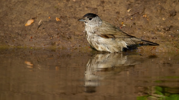 Blurred reflection of eurasian blackcap diving into the water in summer