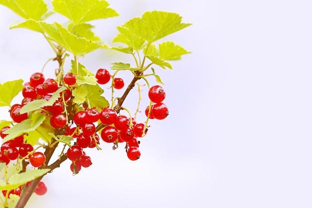 베리에 선택적 초점의 정원에서 흐릿한 여름 배경 붉은 커런트 부시