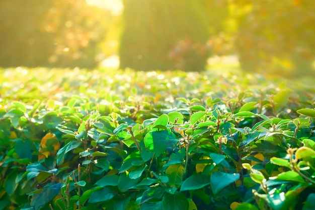 Blurred summer or spring natural background with green leaves and sun light