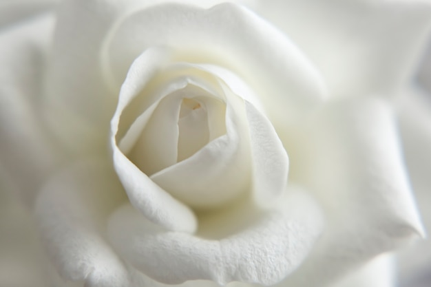 ぼやけた白いバラのクローズアップの壁紙の背景空白の繊細な柔らかい画像