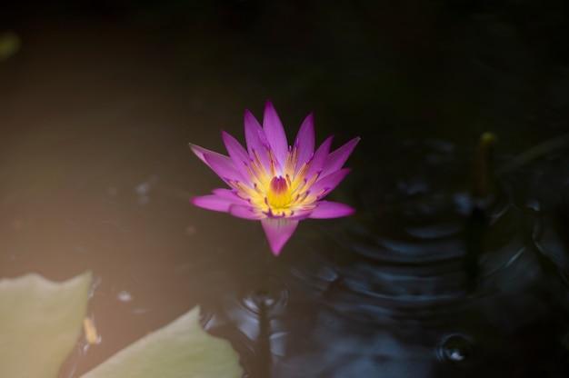 Размытый фон цветка лотоса в пруду с поверхностью воды
