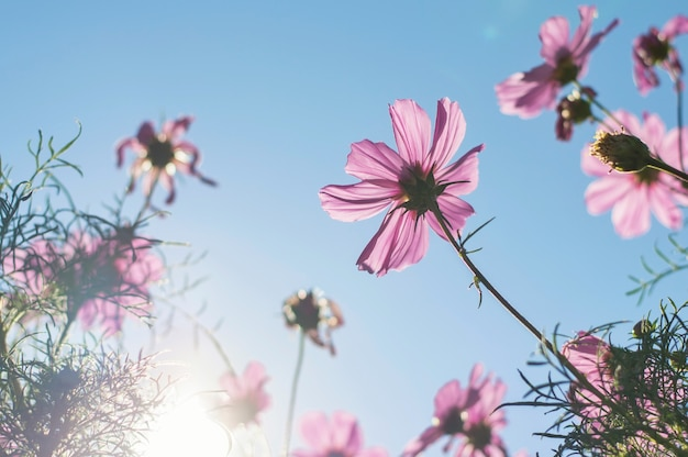 Blurry background of pink cosmos with sunlight in the garden