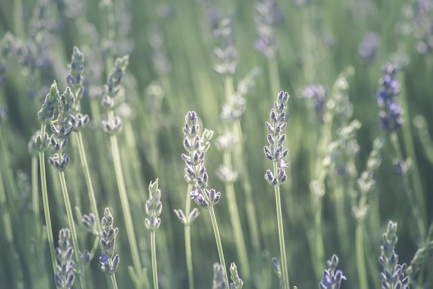 Blurry lavender field