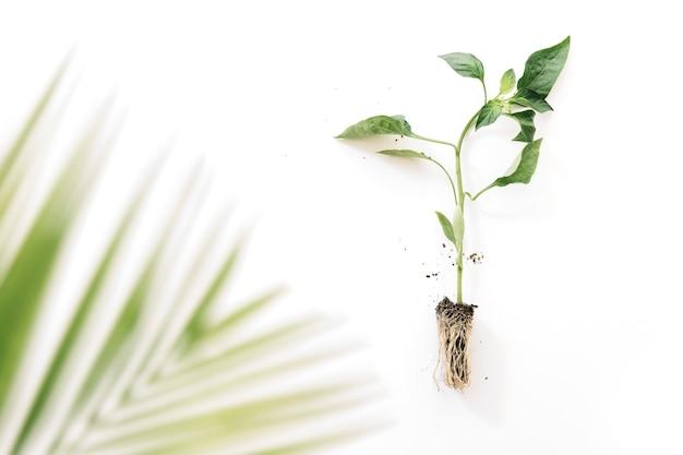 白い背景の上に根を持つ植物の近くにぼやけたヤシの葉