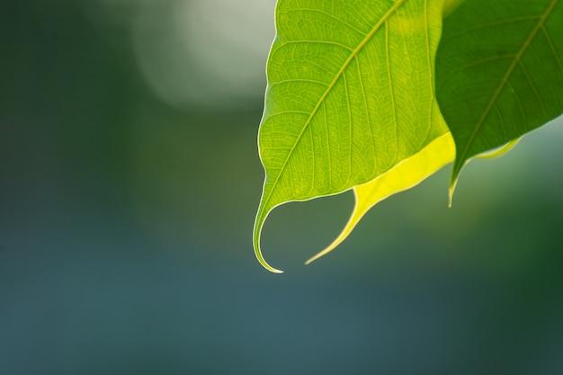 朝の日光、タイの仏教を表すboの木と緑のboの葉。