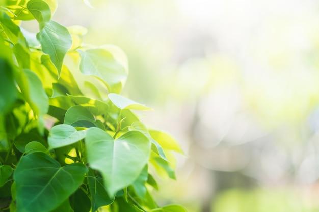 緑のboの葉(フォーの葉、bothiの葉)神聖なイチジクの葉、v字型またはハート型