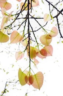 Bo leaf in bright sunlight background