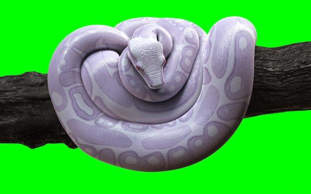 Boa constrictor albino anaconda with clipping path.