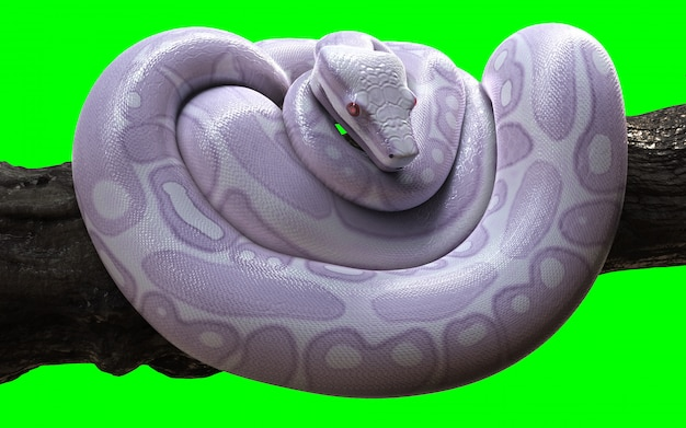 Boa constrictor albino anaconda with clipping path.