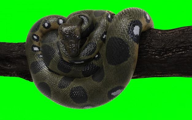 Boa constrictor green anaconda with clipping path.
