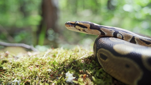 푸른 잔디 클로즈업에서 보아 수축입니다. 뱀은 주위를 둘러보고 혀를 내밀었습니다. 흐린 배경, 4k uhd.
