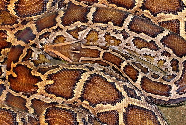 Boa constrictor or python unique pattern on the skin of a reptile