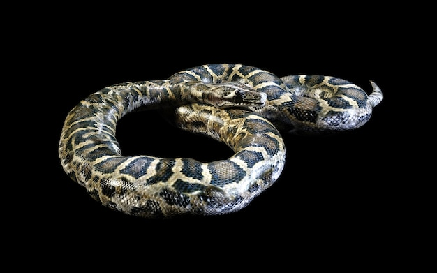 Boa constrictor the world's biggest venomous snake isolated on black background
