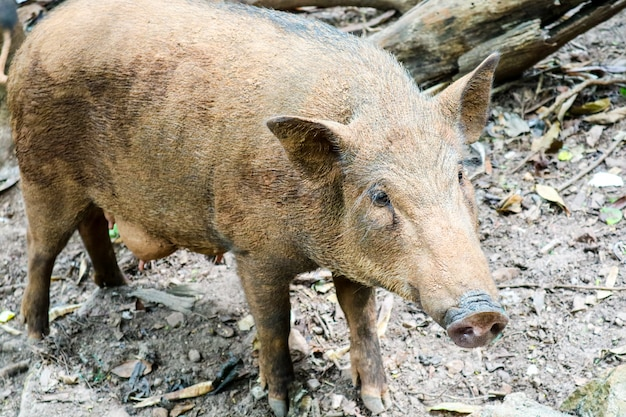 Boar find vegetable on dirt to eat in farm