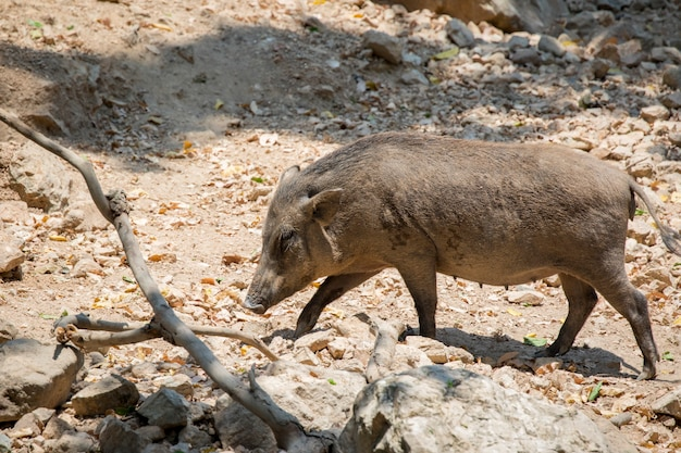 Boar on natural habitat. wild animals.
