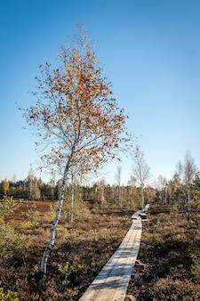 Boardwalk path through wetlands area with lonely tree.  cenas swampland (cenas tirelis), latvia. sunny autumn day.