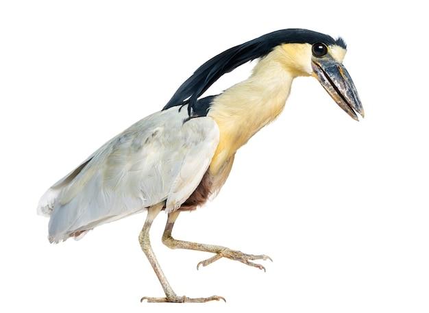 보트 청구 헤론; boatbill-cochlearius cochlearius- 흰색 절연