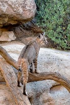 Bobact climbing along fallen trees