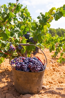 Bobal harvesting with wine grapes harvest