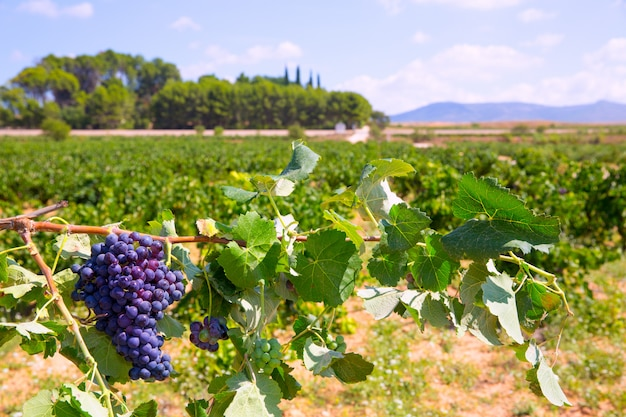 Bobal wine grapes ready for harvest in mediterranean