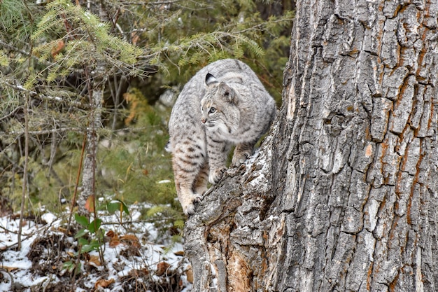 Bobcat climbing on tree in the forest in winter