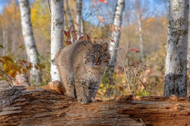 秋の白樺の森のボブキャット子猫
