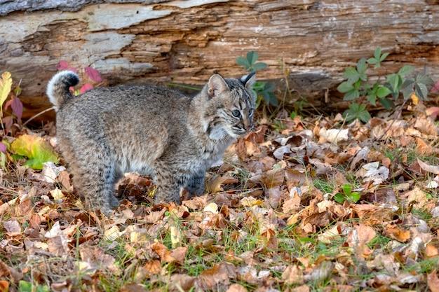 가을 숲의 밥캣 고양이