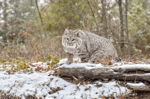 Bobcat moving through the forest on a cold winter day
