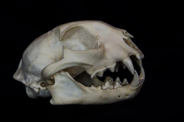 黒い壁に分離された開いた口の中に大きな牙を持つボブキャットスカル