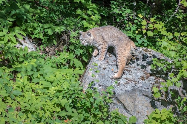 Бобкат стоит на скалах